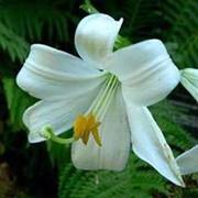 lily-xingye