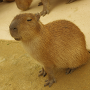 capybara_hide