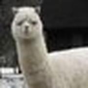 alpaca0984